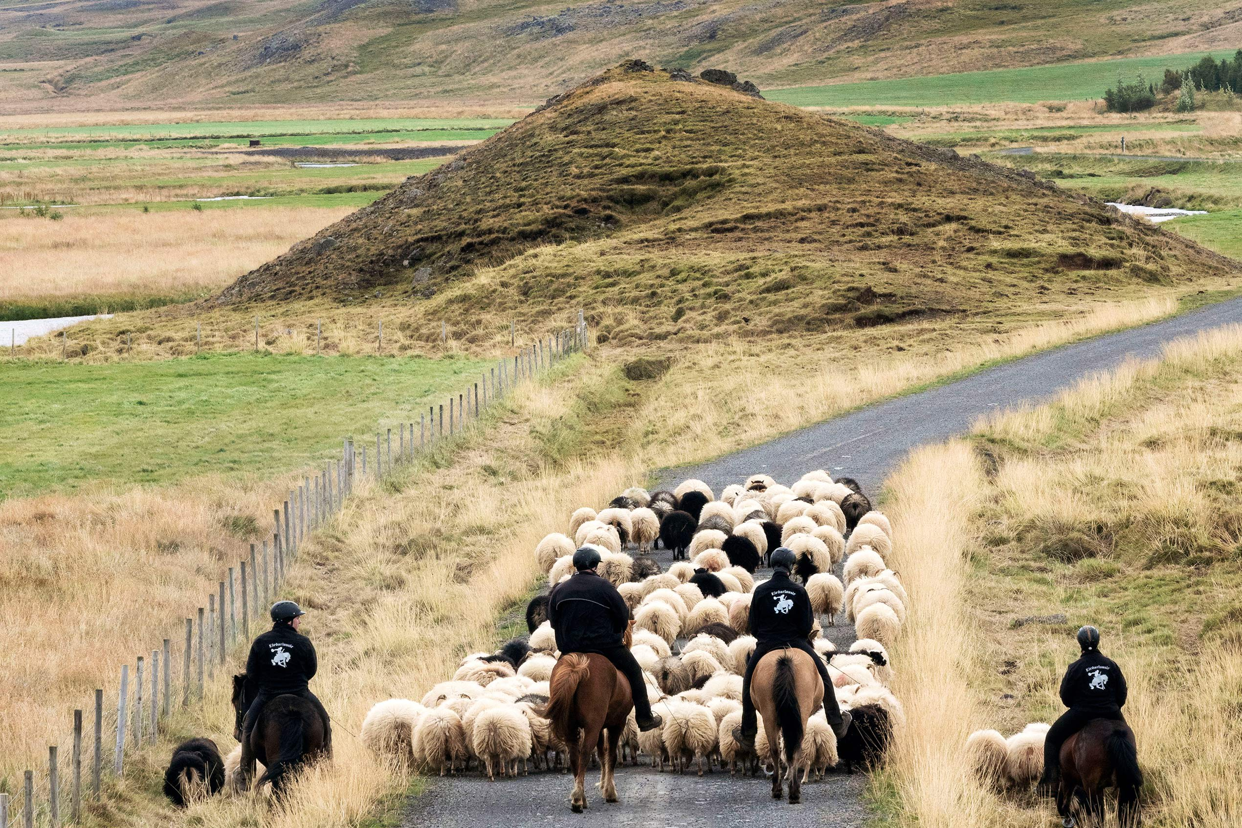 a view from behind of four people on horses rounding up a flock of sheep