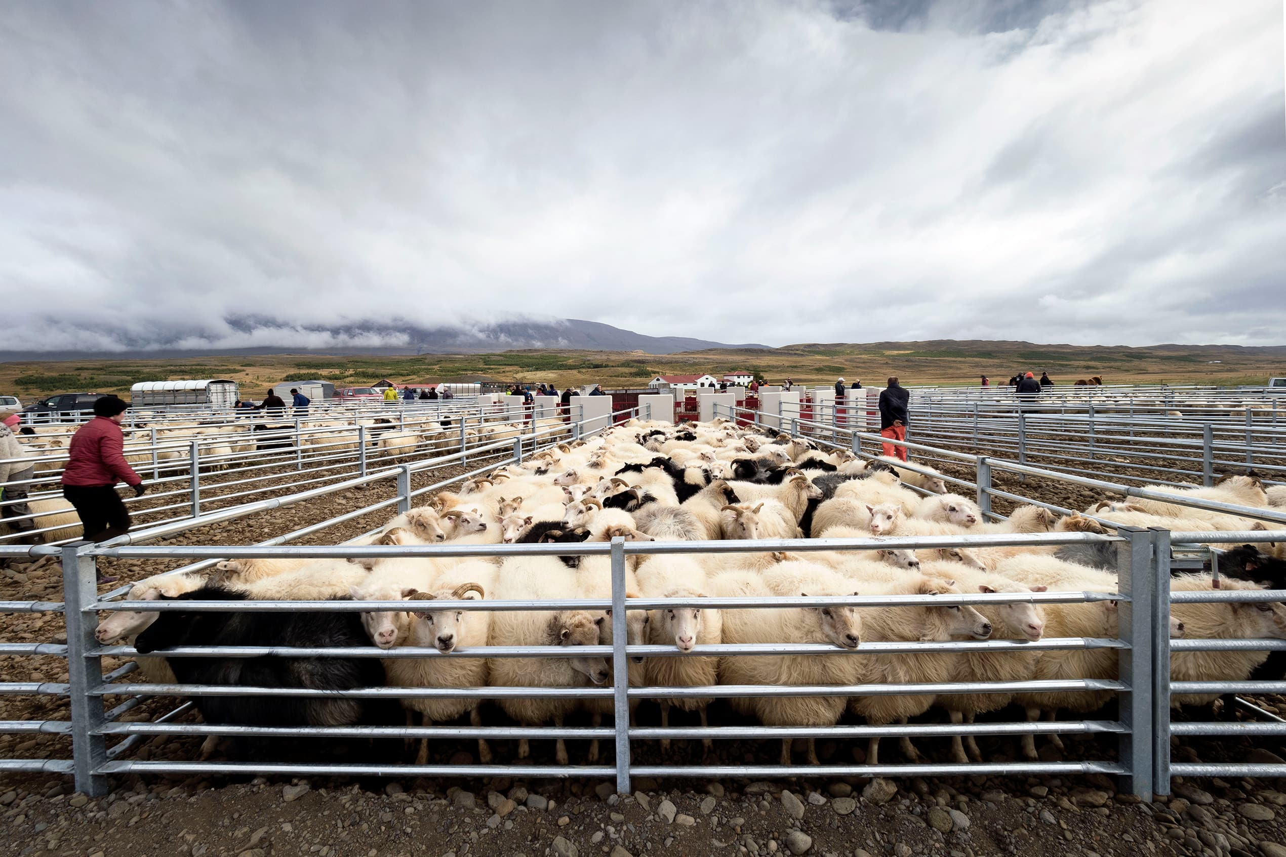 a front on view of sheep being rounded into pens at réttir