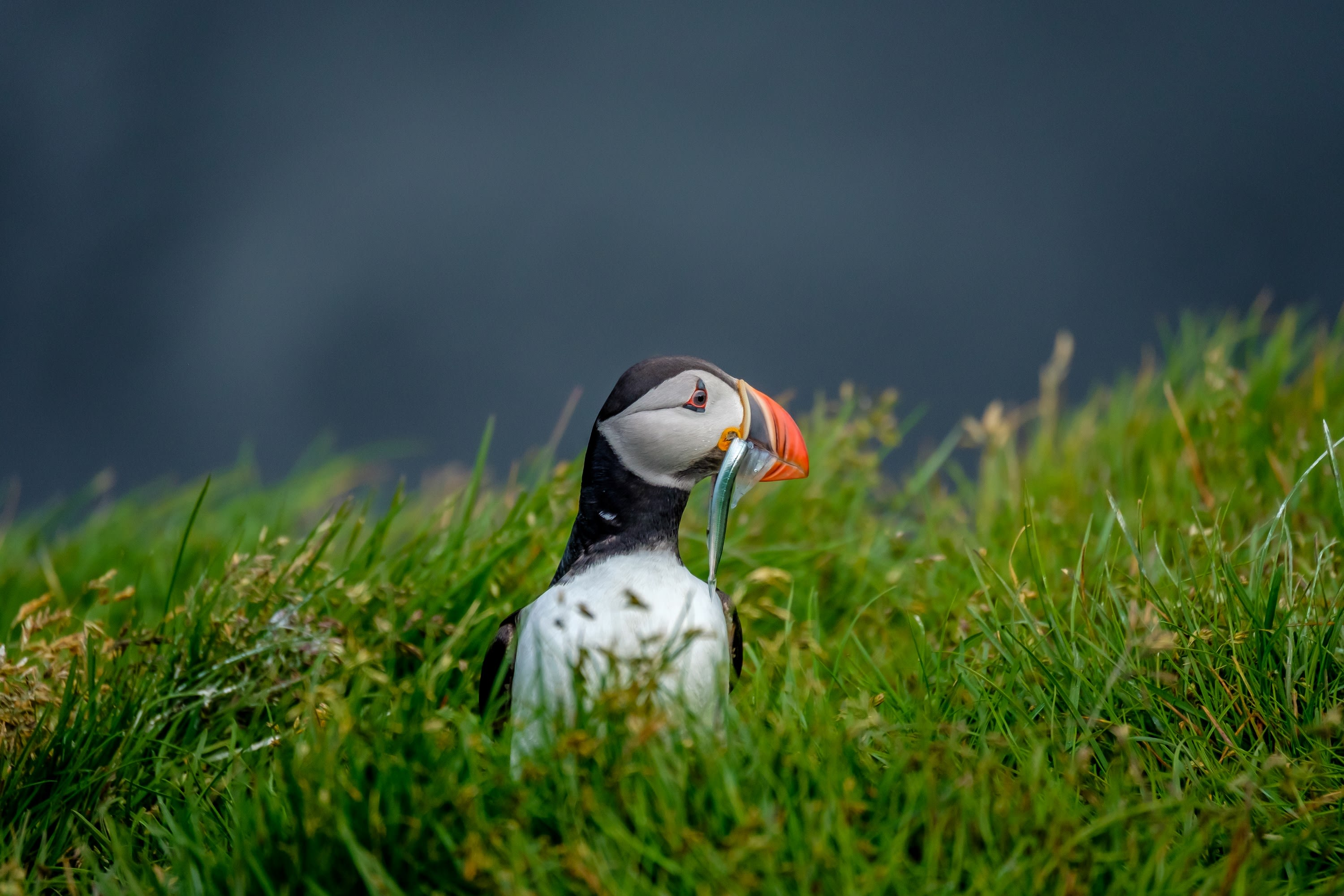 a puffin with a fish in its mouth pictured here in Iceland, sitting in bright green grass