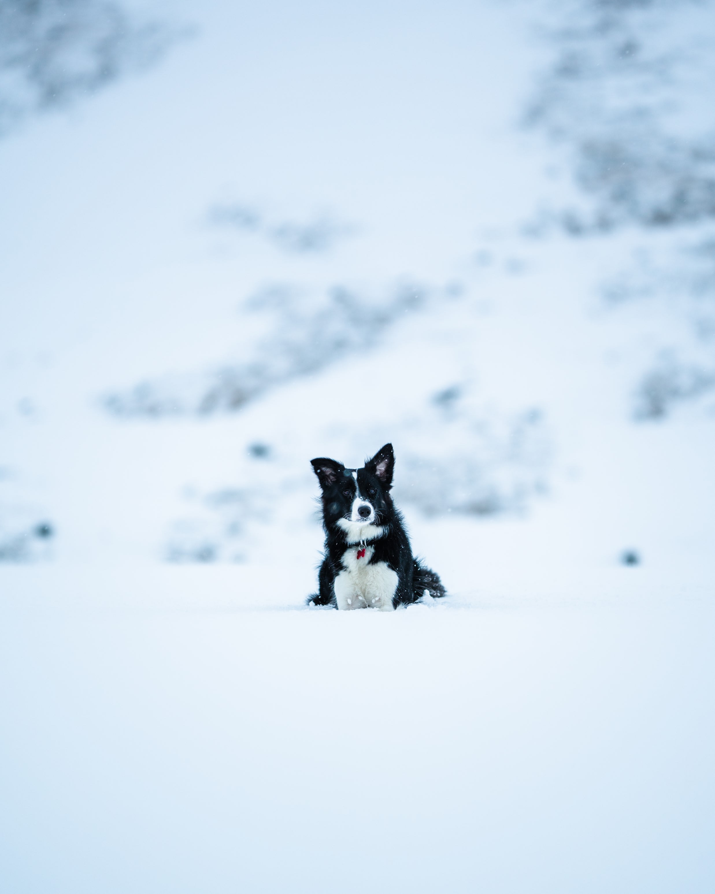 a small black and white border collie dog sitting in the snow in a mountaineous region of Iceland