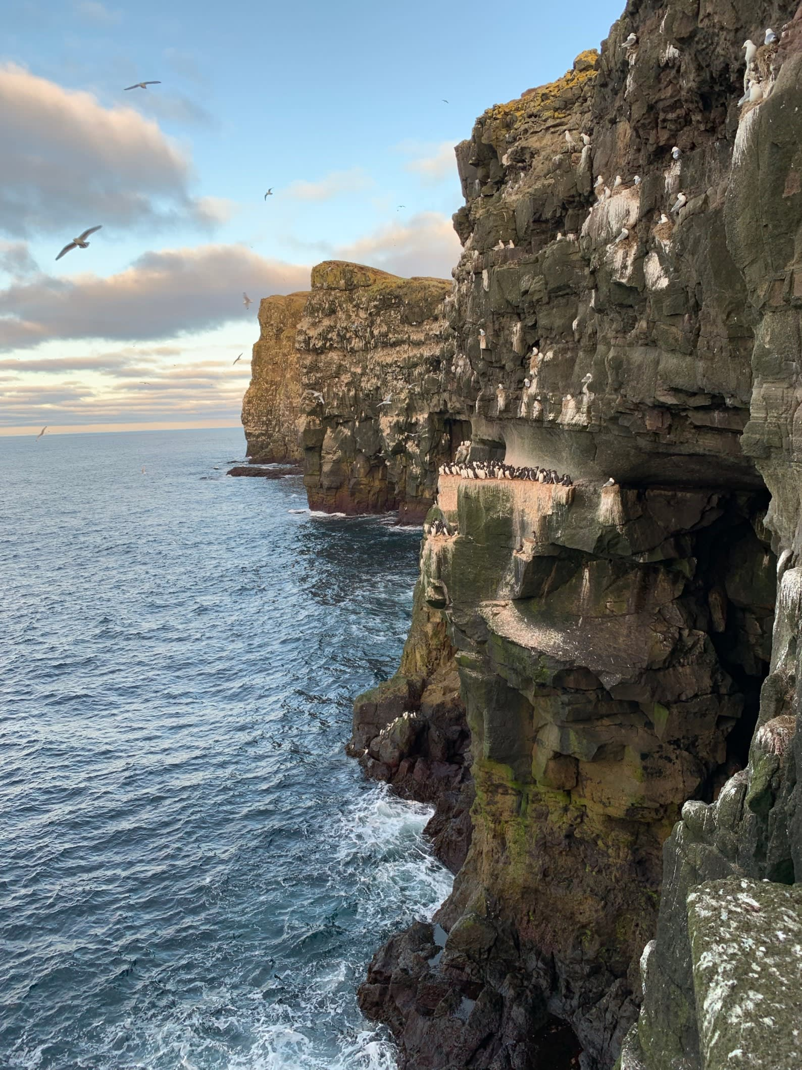 puffins gather together on the cliff edges of Iceland's rocky coastline
