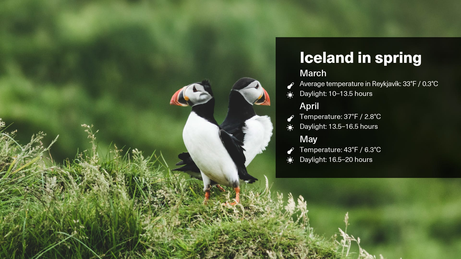 Spring weather displayed on a graphic illustrative image with puffin imagery and text overleaf that shows the temperature and daylight hours in March, April and May in Iceland