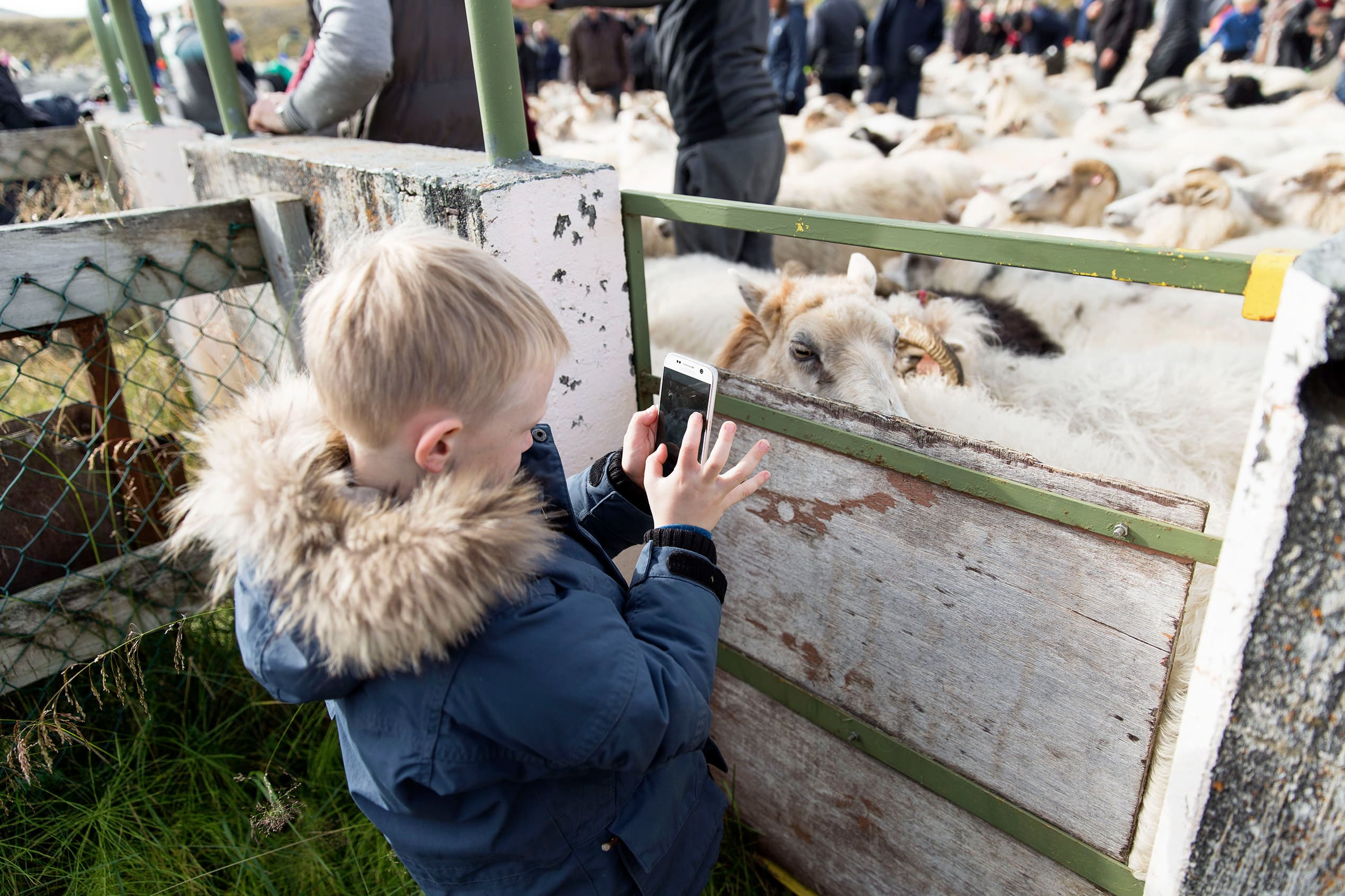 a child takes a picture of the sheep up close on a mobile phone